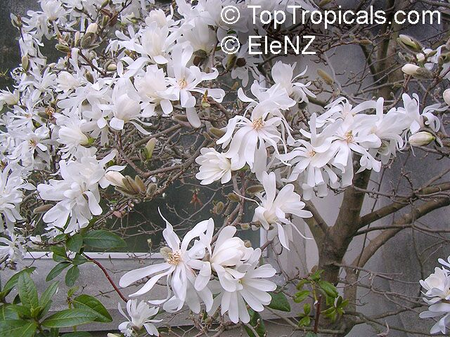 Plants With Scents As Heady As Incense Magnolia Toptropicalscom