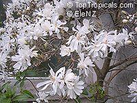 Magnolia stellata, Star Magnolia  Click to see full-size image