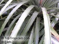 Puya alpestris, Pitcairnia alpestris, Sapphire Tower  Click to see full-size image