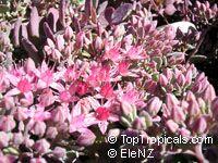 Sedum cauticola, Hylotelephium cauticola, Stonecrop  Click to see full-size image