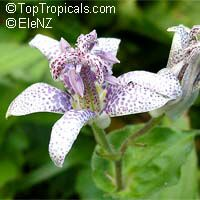 Tricyrtis sp., Toad Lily  Click to see full-size image