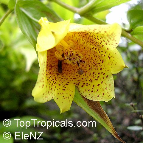 Tropical plant catalog toptropicals tricyrtis macrantha tricyrtis macranthopsis yellow chinese toad lily click to see full size mightylinksfo