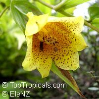 Tricyrtis macrantha, Tricyrtis macranthopsis, Yellow Chinese Toad LilyClick to see full-size image