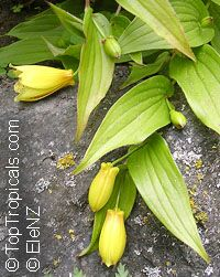 Tricyrtis macrantha, Tricyrtis macranthopsis, Yellow Chinese Toad Lily  Click to see full-size image