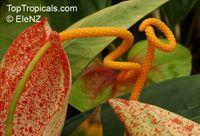 Anthurium scherzerianum, Flamingo FlowerClick to see full-size image