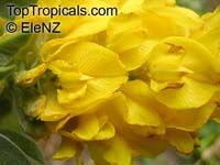Argyrocytisus battandieri, Cytisus battandieri, Pineapple Broom  Click to see full-size image