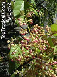Aristotelia serrata, Aristotelia racemosa , Makomako, WineberryClick to see full-size image
