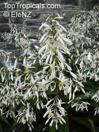 Arthropodium cirrhatum, Renga Lily, Rock-lily  Click to see full-size image