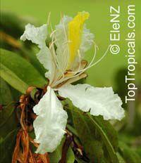 Baikiaea insignis , Baikiaea  Click to see full-size image