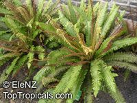 Blechnum discolor, Crown Fern   Click to see full-size image