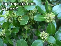 Buxus sp., Boxwood  Click to see full-size image