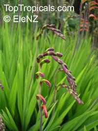 Chasmanthe aethiopica, Cobra Lily   Click to see full-size image