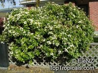 Choisya ternata , Mexican Orange Blossom