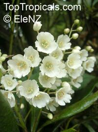 Clethra arborea, Lily of the Valley TreeClick to see full-size image