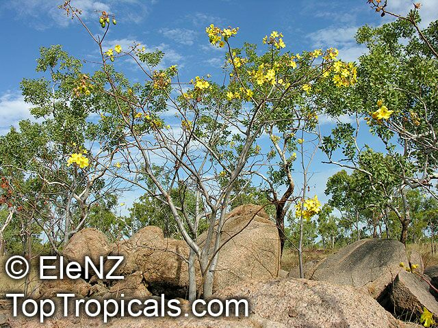 cochlospermum fraseri kapok   toptropicals