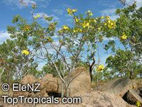Cochlospermum fraseri, Kapok  Click to see full-size image