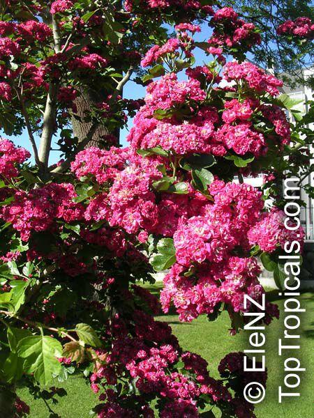 washington hawthorn tree pictures. Hawthorn, Washington Thorn