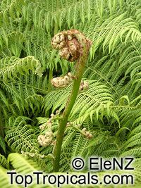 Cyathea australis, Alsophila australis, Rough Tree Fern  Click to see full-size image
