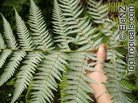 Cyathea dealbata, Alsophila tricolor, Silver Tree Fern, Ponga  Click to see full-size image