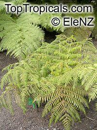 Cyathea medullaris, Mamaku, Black Tree FernClick to see full-size image