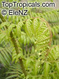 Cyathea medullaris, Mamaku, Black Tree Fern  Click to see full-size image