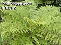 Cyathea smithii, Soft Tree Fern, Golden Tree Fern, Katote