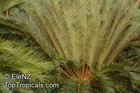 Cycas angulata, Ngathu, Angular Cycas  Click to see full-size image