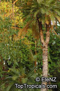 Cycas armstrongii, Fire Fern  Click to see full-size image