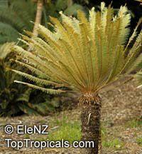 Cycas calcicola , Cycas  Click to see full-size image