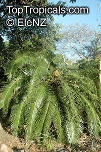 Cycas circinalis, Cycas undulata, Cycas wallichii, Queen SagoClick to see full-size image