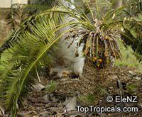 Cycas circinalis, Cycas undulata, Cycas wallichii, Queen Sago  Click to see full-size image