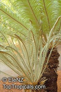 Cycas ophiolitica , Cycas Marlborough BlueClick to see full-size image