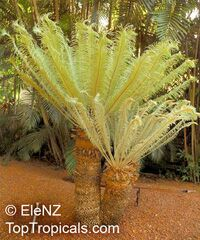 Cycas ophiolitica , Cycas Marlborough Blue  Click to see full-size image