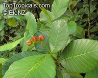 Dillenia suffruticosa, Wormia suffruticosa, Simpoh Air, Shrubby Dillenia, Shrubby SimpohClick to see full-size image