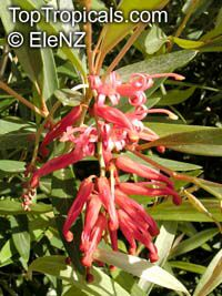 Embothrium coccineum, Chilean Fire Bush  Click to see full-size image