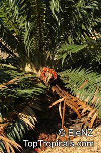 Encephalartos gratus, Malawi Cycad, Mulanje Cycad  Click to see full-size image