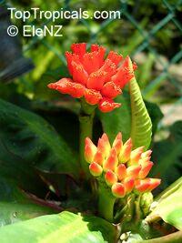 Euphorbia viguieri, Euphorbia  Click to see full-size image