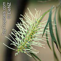 Grevillea parallela, Silver Oak, White Grevillea  Click to see full-size image