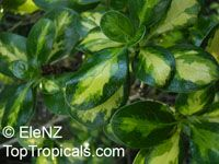Griselinia sp., New Zealand Privet, Broadleaf, Puka  Click to see full-size image