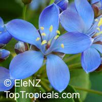 Guaiacum sp., Lignum Vitae, Guajacum, Guaiac  Click to see full-size image