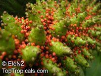 Gunnera tinctoria, Gunnera chilensis, Chilean Rhubarb, Giant RhubarbClick to see full-size image