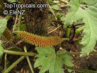 Gunnera tinctoria, Gunnera chilensis, Chilean Rhubarb, Giant Rhubarb  Click to see full-size image