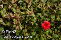 Hibiscus rosa-sinensis variegatus, Variegated Hibiscus