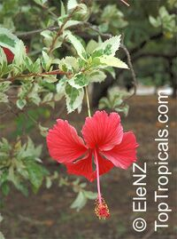 Hibiscus variegated Snow Queen  Click to see full-size image