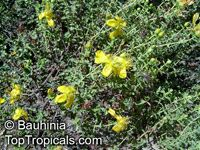 Hypericum sp., St John Wort  Click to see full-size image