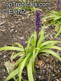 Liriope muscari, Liriope, Border Grass, Lily-turf  Click to see full-size image