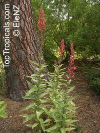 Lobelia tupa, Devil's Tobacco, Tupa  Click to see full-size image