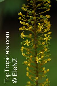 Lophanthera lactescens, Golden Chain TreeClick to see full-size image