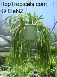 Lycopodium sp., Rock Tassel Fern, Club Moss  Click to see full-size image