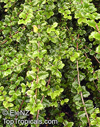 Malpighia coccigera , Miniature Holly, Singapore Holly, Florida Holly  Click to see full-size image